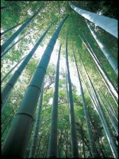 Bamboo grove in the garden